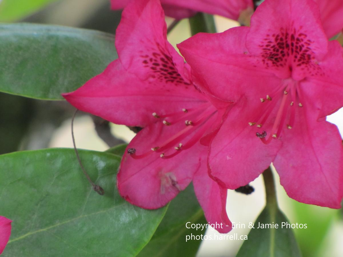 Red Rhododendron 3